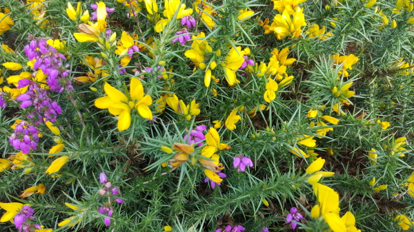 Gorse and Bell Heather